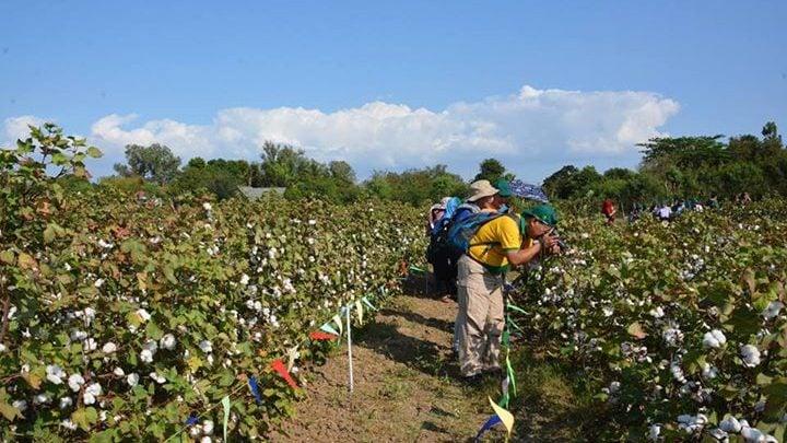 GMO cotton could prompt renaissance of Philippine cotton industry - اخبار زیست فن