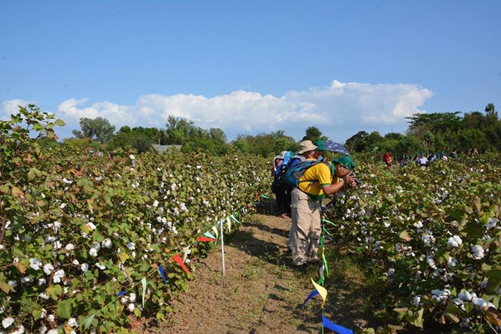 GMO cotton could prompt renaissance of Philippine cotton industry - اخبار زیست فن