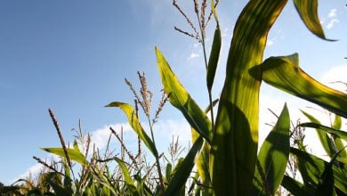 New study identifies genetic basis for western corn rootworm resistance in maize - اخبار زیست فن