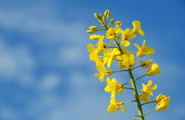 Promising feed trials for GM canola - اخبار زیست فن