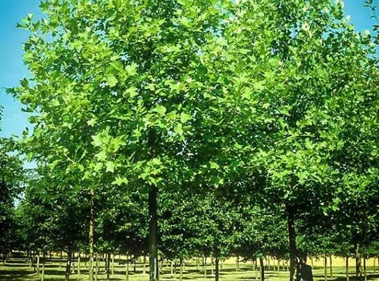 RESEARCHERS EVALUATE THE AGRONOMIC PERFORMANCE OF TRANSGENIC POPULUS DELTOIDES TREES FOR BIOFUEL PRODUCTION - اخبار زیست فن