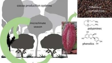 'Stressed out' cocoa trees could produce more flavorful chocolate - اخبار زیست فن