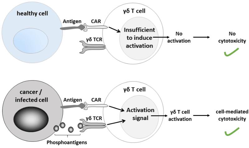 درمان سرطان با CAR-T cell گاما دلتا - اخبار زیست فناوری