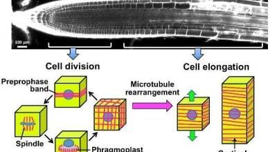 Photo of عملکرد کیناز 6 در رشد مستقیم سلول های گیاهی