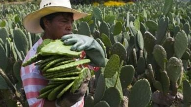 Photo of UN dishes up prickly pear cactus in answer to food security