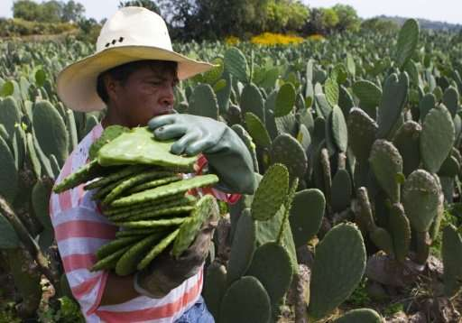 UN dishes up prickly pear cactus in answer to food security - اخبار زیست فن