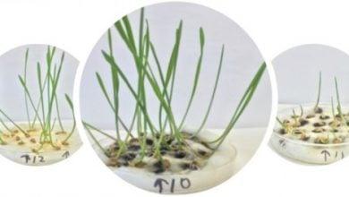 Photo of تقویت گندم با نانولوله های تصفیه شده