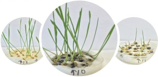 Wheat gets boost from purified nanotubes - اخبار زیست فن