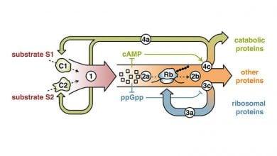 باکتری ها چگونه سازگاری دارند؟ - اخبار زیست فناوری