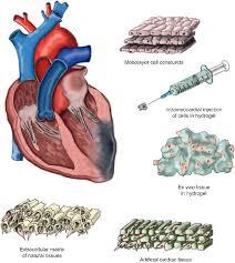 ایجاد عضله قلب مصنوعی توسط محققان دانشگاه دوک - اخبار زیست فناوری