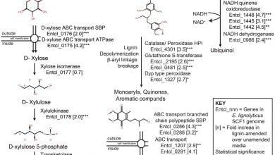 چگونگی تجزیه لیگنین توسط باکتری ها و تولید سوخت زیستی - اخبار زیست فناوری