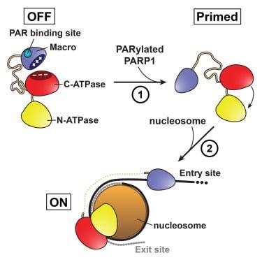 مکانیزم عملکرد آنزیمهای دخیل در سرطان کبد و سایر سرطانهای انسانی – اخبار زیست فناوری