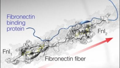 پروب پپتیدی برای بررسی وضعیت تنش فیبرهای فیبرونکتینی در سرطان - اخبار زیست فناوری