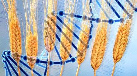 آخرین ورژن ژنوم گندم منتشر شد! - اخبار زیست فناوری