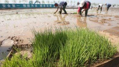 Photo of کشت برنج چینی جدید در آب دریا!