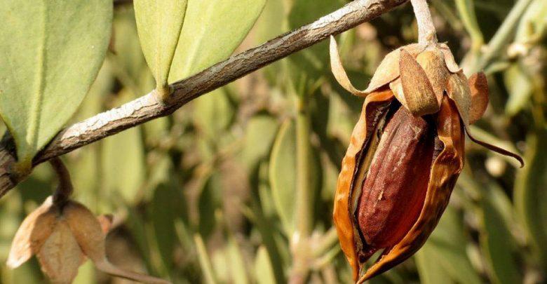 تبدیل بیابان به جنگل به کمک جوجوبا - اخبار زیست فناوری