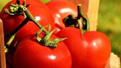 تولید گوجهفرنگیهای بکربارده با استفاده از CRISPR-Cas9 - اخبار زیست فناوری