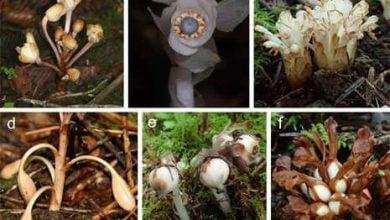 Photo of روشی غیرمعمول برای پراکندن بذر در برخی گیاهان انگل