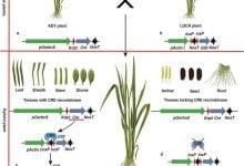 Photo of استفاده از سوئیچ ژنی Cre-lox برای محدودکردن بیان ژن Bt در بافتهای سبز برنج