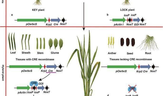استفاده از سوئیچ ژنی Cre-lox برای محدودکردن بیان ژن Bt در بافتهای سبز برنج - اخبار زیست فناوری