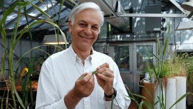 Photo of کشف ژنی در گندم برای مقاومت به بیماری زنگ ساقه