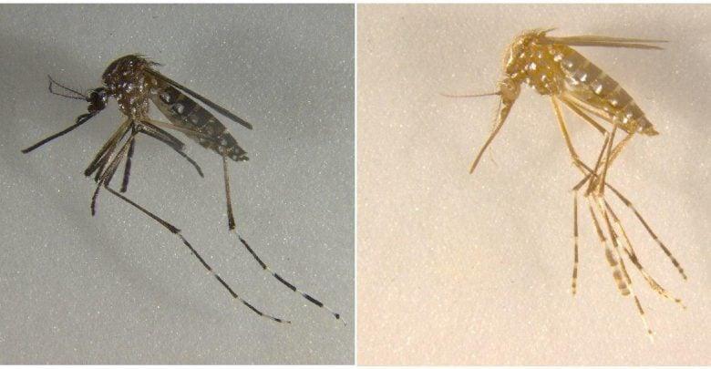 پشههای تراریختهای که خودبهخود نابود میشوند! - اخبار زیست فناوری