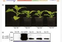 Photo of ایمنکردن گیاهان در برابر پژمردگی ورتیسلیومی به کمک ژنی از گوجهفرنگی