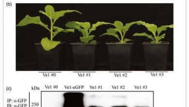 ایمنکردن گیاهان در برابر پژمردگی ورتیسلیومی به کمک ژنی از گوجهفرنگی - اخبار زیست فناوری