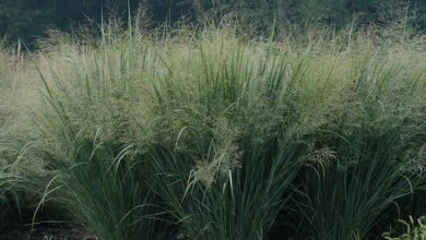 Photo of Insect Cellulase Expressed in Switchgrass Improves its Saccharification