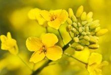 آزمایشات امیدبخش از کانولای اصلاح ژنتیکی برای تغذیه آبزیان_ اخبار زیست فناوری