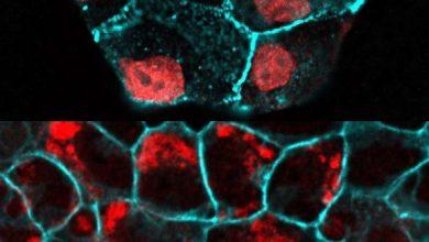 Photo of چگونه تعداد سلولهای اپیتلیال ثابت باقی میماند