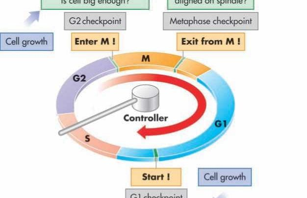 محققان یافته های مربوط به کنترل تقسیم سلول را گزارش می کنند_اخبار زیست فناوری