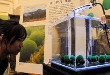 جلبک های نادر marimo برای اولین بار در ژاپن - اخبار زیست فناوری