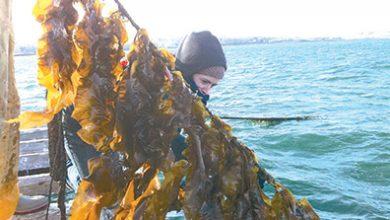 Kelp Economy to Make a Big Splash in 2018
