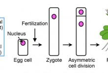 Live cell imaging of asymmetric cell division in fertilized plant cells - اخبار زیست فن