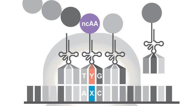 ساخت باکتری مصنوعی با قابلیت تکثیر و ترجمه DNA غیرعادی! - اخبار زیست فناوری