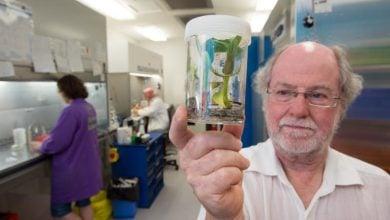 Photo of اصلاح ژنتیکی گیاه موز برای مقاومت به بیماری پانامایی