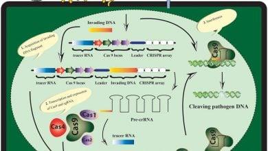 Photo of دانشمندان در حال بررسی امکان استفاده از CRISPR-Cas9 در درخت خرما هستند