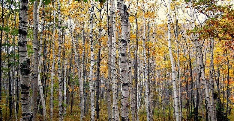 بهبود ژنتیکی تولید تریترپنوئیدها در درخت غان - اخبار زیست فناوری
