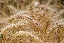 Photo of گندم جدید، تحولی در مبارزه با بیماریهای گوارشی و دیابت