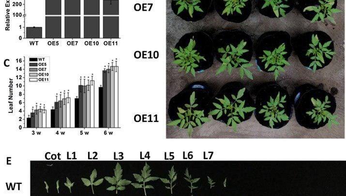 تسریع رشد زایشی در گوجهفرنگی با بیان بیشازحد ژن SIJAZ2 - اخبار زیست فناوری