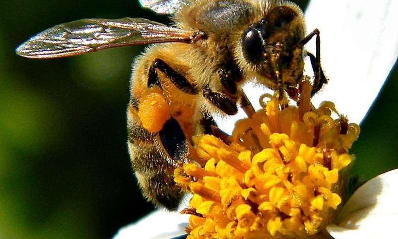 شناخت وظیفه باکتریهای رودهای در حفظ سلامت زنبورعسل - اخبار زیست فناوری