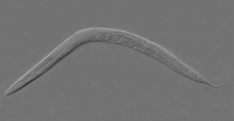 بررسی دقیق DNA میتوکندری به کمک نوعی کرم انگل - اخبار زیست فناوری