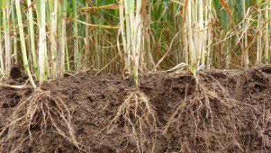 Photo of شناسایی ژنی که علاوه بر گلدهی، رشد ریشه گندم و جو نیز از آن متأثر است