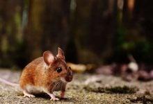 سلول های کمی به درک موش در دیدن کمک میکنند!_اخبار زیست فناوری