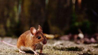 Photo of سلول های کمی به درک موش در دیدن کمک میکنند!
