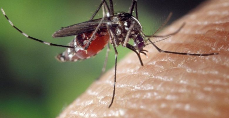 Bacteria block transmission of Zika and Dengue viruses