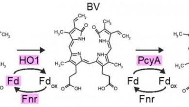 Photo of Efficient synthesis of a photosynthetic pigment in mammalian cells for Optogenetics
