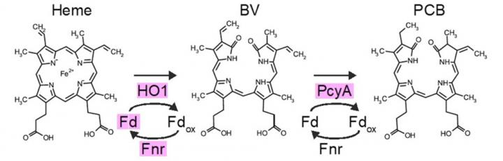 Efficient synthesis of a photosynthetic pigment in mammalian cells for Optogenetics