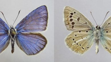 Photo of New butterfly species discovered in Russia with an unusual set of 46 chromosomes